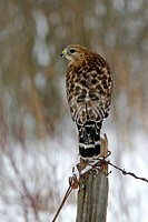 Adult Red-shouldered Hawk (Buteo lineatus) in winter in Hamden, CT.