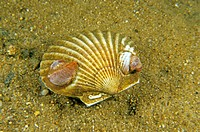 Bay scallop (Aquipecten irradians), an edible bivalve, with common slipper shells (Crepidula fornicata), a type of gastropod, growing on its shell in ...