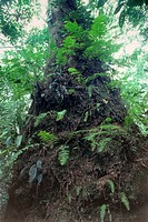 Tree trunk covered with ferns and other epiphytes in rainforest of Tai National Park in Western Ivory Coast, West Africa.