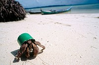 Large hermit crab using green plastic cap as a home instead of a shell. Rubbish in the oceans can have unforseen impacts on wildlife. Sulwesi, Indones...