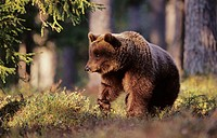 Brown Bear (Ursus arctos) in midsummer's night, taiga forest. Karelia near the Russian border, Finland