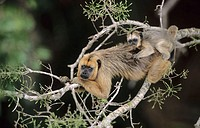 Howler Monkey, female with baby in a roof of tree tops. Pantanal, Brazil