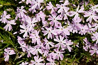 Phlox Subulata flowers England UK