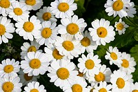 Feverfew flowers (Tanacetum pathenium) , UK