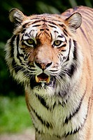 Siberian Tiger (Panthera tigris altaica), captive. Germany