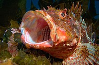 Northern scorpionfish (Scorpaena cardinalis) yawning. Poor Knights Islands, New Zealand. South Pacific Ocean