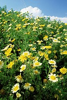 Crown daisies (Chrysanthemum coronarium) in a field with other wildflowers in Puglia, Italy.