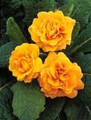 Primroses (Primula vulgaris ´Sunshine Susie´).