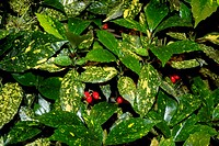 Spotted Laurel. (Aucuba japonica ´Crotonifolia´) Variegated foliage and red berries on a female plant