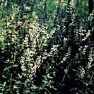 Nepeta cataria citriodora. Lemon Catnip catmint. AZ Botanical.