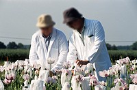 Researchers in a field of opium poppies, placing paper bags over genetically-modified poppies to prevent cross-pollination. This poppy (Papaver somnif...