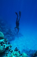 Speargun hunter diving over a coral reef with a speargun (in right hand). The hunter is wearing flippers and a mask, but no breathing equipment. The l...