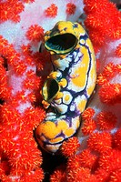 Polycarpa aurata tunicate, or sea squirt, amongst the branches of a Dendronephthya sp. soft coral. Sea squirts are sessile barrel-shaped animals that ...