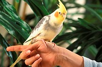 A yellow parrot sitting on human hand
