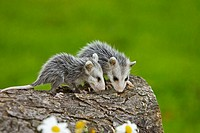 Virginia Opossum (Didelphis virginiana), juvenile