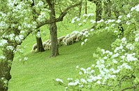 Large group of sheep grazing, Austria
