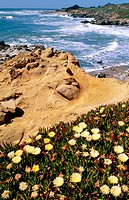 Iceplant at rocky sandstone Pacific coastline, Pebble Beach State Park. San Mateo County, California. USA