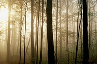 Forest with sun and the sun rays shining with mist