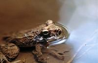 Tropical frog. Nosy Mangabe, Madagascar
