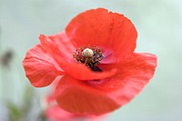 Corn poppy, red flower head