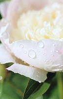 White peony, close up