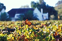 Devon Valley, Sparkling Wine, autumn leaves in front of Manor House, Stellenbosch, South Africa