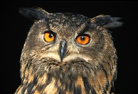 Eagle owl, Bubu bubu (thumbnail)
