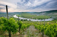 Terraced vineyards on hills along the Moselle River. Moselle River Valley. Germany