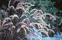 Fountain Grass (Pennisetum sp.)