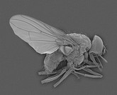 SEM of a horn fly (Haematobia irritans), mag. 4x (at 24 x 36 mm), which resembles a housefly but is smaller and has blood-sucking mouthparts. Adult ho...