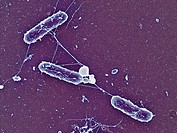 Scanning electron micrograph of Salmonella enteritidis, mag. 15,000x (at 3.75 x 5 in.). This bacterial pathogen causes salmonellosis food poisoning.