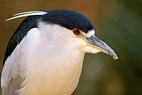 Black-crowned Night-Heron (Nycticorax nycticorax). Misiones, Argentina