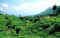 agriculture, cultivation, drink, highland, luxury, outhouse, Sri Lanka, Asia, tea, tea plantation, man, tea harvest