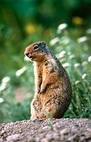 Prairie dog (Cynomys sp.)