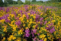 Bell heather and gorse. Kelling Heath. Norfolk. United Kingdom.