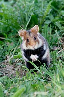 Common hamster (Cricetus cricetus)