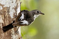 Male European Pied Flycatcher (Ficedula hypoleuca) on Silver Birch (Betula pendula)