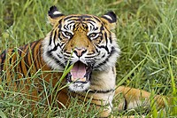 Sumatran Tiger (Panthera tigris sumatrae). Captive, adult mother. Germany