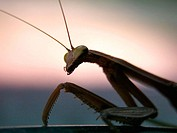 Praying Mantis silhouette