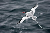 Red-billed Tropicbird (Phaeton aethereus). South Plaza island, Galapagos Islands. Ecuador