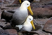 Waved Albatros (Diomedea irrorata). Española (Hood) island, Galapagos Islands. Ecuador