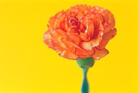 Carnation (thumbnail)