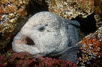Wolf-eel, Pacific Northwest, Fish