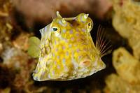 Thornback cowfish, Lactoria fornasini, Sabang wreck, Puerto Galera, Mindoro, Philippines