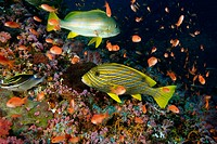 Spanish flag, Lutjanus carponotatus, and Ribbon sweetlips, Plectorhinchus polytaenia, swim among anthias, Canyons, Puerto Galera, Philippines
