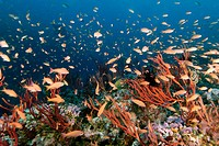Thousands of scalefin anthias, Pseudanthias squamipinnis, hovering over colonies of red whip coral, Ellisella sp., Canyons, Puerto Galera, Mindoro, Ph...