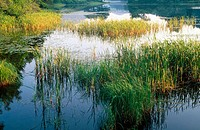 Reeds and grass in a lake