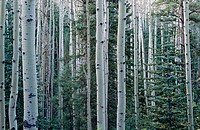 Aspen trees and pines