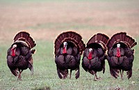 Wild turkeys (Meleagris gallopavo). Northern Texas. USA