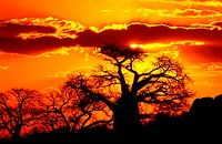 Sunset Over Baobab Trees, Suwa Pan , Botswana